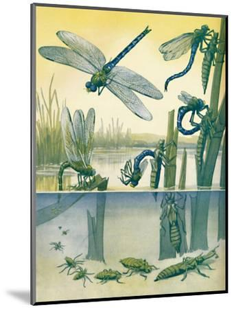 'The Beautiful Dragonfly's Life Story', 1935-Unknown-Mounted Giclee Print