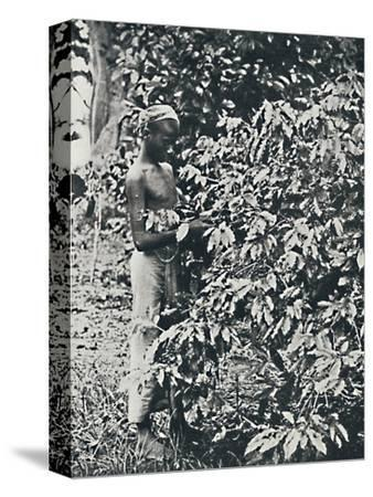 'Picking Coffee', 1916-Unknown-Stretched Canvas Print