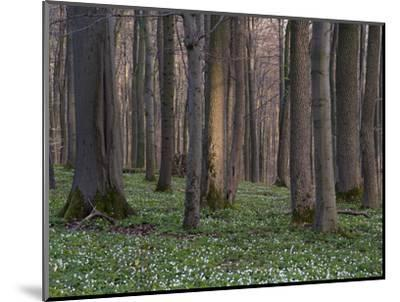 Evening in the Hainich National Park, Thuringia, Germany-Michael Jaeschke-Mounted Photographic Print