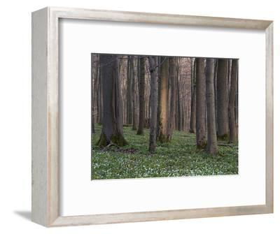 Evening in the Hainich National Park, Thuringia, Germany-Michael Jaeschke-Framed Photographic Print