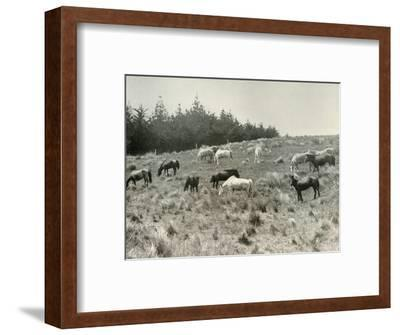 'The Manchurian Ponies on Quail Island, Port Lyttelton', c1907, (1909)-Unknown-Framed Photographic Print