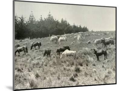'The Manchurian Ponies on Quail Island, Port Lyttelton', c1907, (1909)-Unknown-Mounted Photographic Print