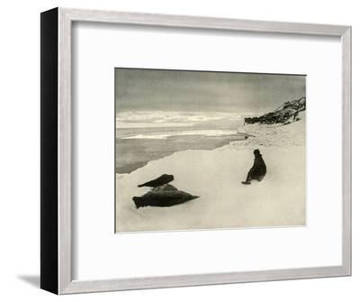 'Seals at the Ice-Edge', c1908, (1909)-Unknown-Framed Photographic Print