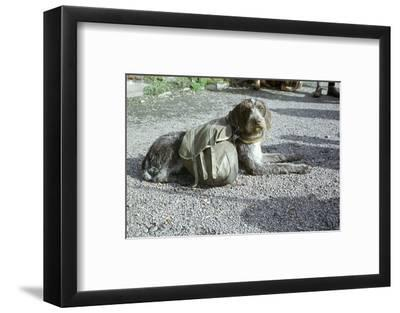 Lapp dog with panniers-Unknown-Framed Photographic Print