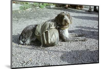 Lapp dog with panniers-Unknown-Mounted Photographic Print