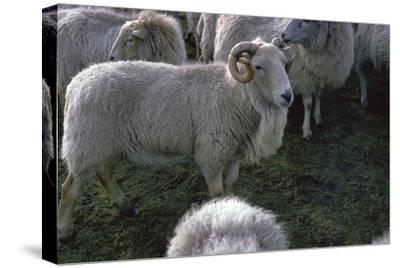 Welsh Mountain ram-Unknown-Stretched Canvas Print