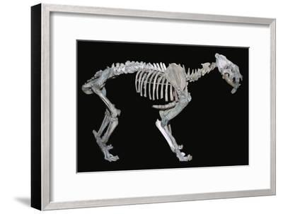 Fossil skeleton of a sabre-toothed tiger-Unknown-Framed Giclee Print