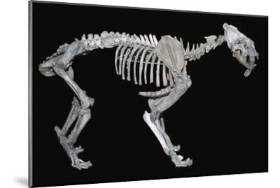 Fossil skeleton of a sabre-toothed tiger-Unknown-Mounted Giclee Print