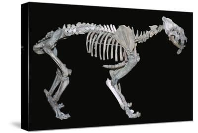 Fossil skeleton of a sabre-toothed tiger-Unknown-Stretched Canvas Print