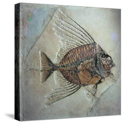 Fossil of Acantonemus Subaureus-Unknown-Stretched Canvas Print