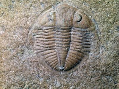 Fossil trilobite-Unknown-Framed Giclee Print