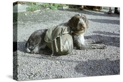 Lapp dog with panniers-Unknown-Stretched Canvas Print