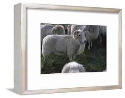 Welsh Mountain ram-Unknown-Framed Photographic Print