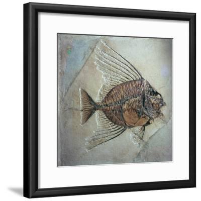 Fossil of Acantonemus Subaureus-Unknown-Framed Giclee Print
