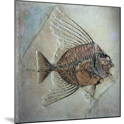 Fossil of Acantonemus Subaureus-Unknown-Mounted Giclee Print