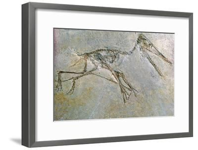 Fossil skeleton of a Pteradactyl-Unknown-Framed Giclee Print