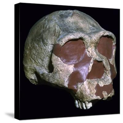 Skull of Homo Erectus-Unknown-Stretched Canvas Print