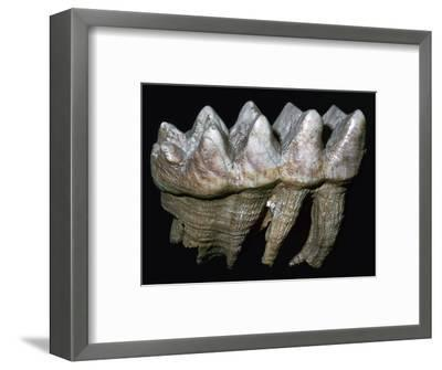 Fossil tooth of a mastodon-Unknown-Framed Giclee Print