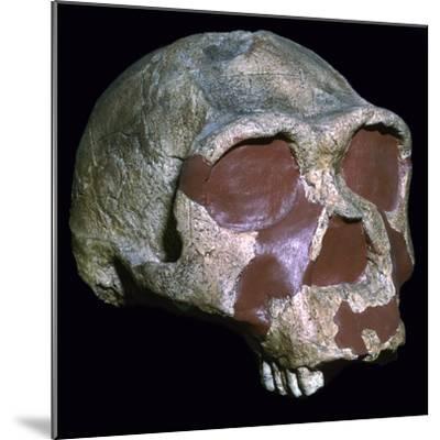 Skull of Homo Erectus-Unknown-Mounted Giclee Print