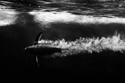 Penguin shot-Semir Catovic-Framed Photographic Print