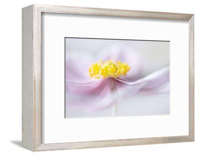 Anemone-Mandy Disher-Framed Photographic Print