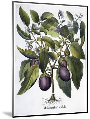 Aubergine, 1613-Unknown-Mounted Giclee Print