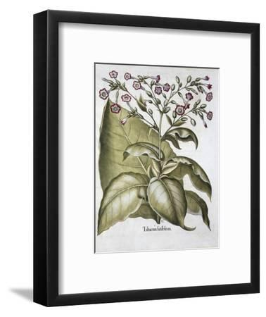 Tobacco plant, 1613-Unknown-Framed Giclee Print