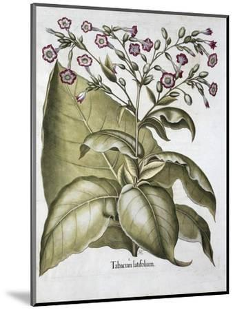 Tobacco plant, 1613-Unknown-Mounted Giclee Print