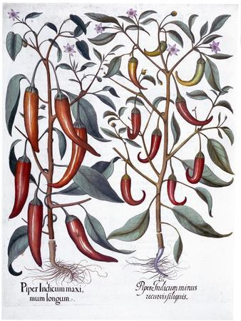 Peppers, 1613-Unknown-Framed Giclee Print