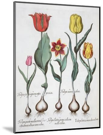 Tulips, 1613-Unknown-Mounted Giclee Print