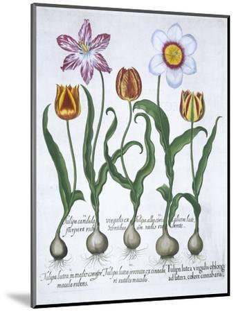 Five tulips, 1613-Unknown-Mounted Giclee Print