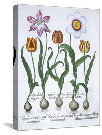 Five tulips, 1613-Unknown-Stretched Canvas Print