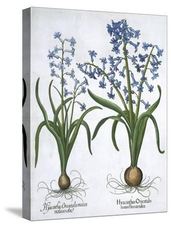 Two blue hyacinths, 1613-Unknown-Stretched Canvas Print