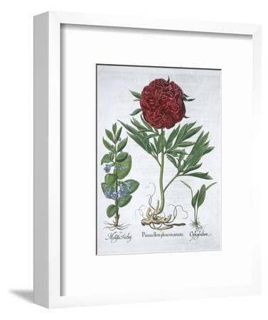 Lemon balm, Peony and adder's tongue fern, 1613-Unknown-Framed Giclee Print