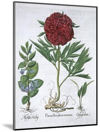 Lemon balm, Peony and adder's tongue fern, 1613-Unknown-Mounted Giclee Print