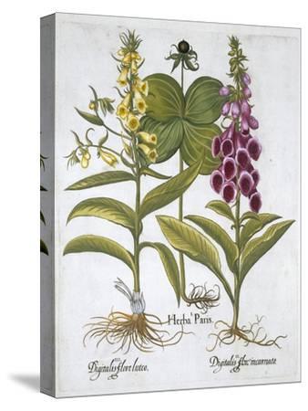 Herb Paris (Solanum quadrifolium), Common Foxglove (Digitalis Purpurea) Large Yellow Foxglove-Unknown-Stretched Canvas Print