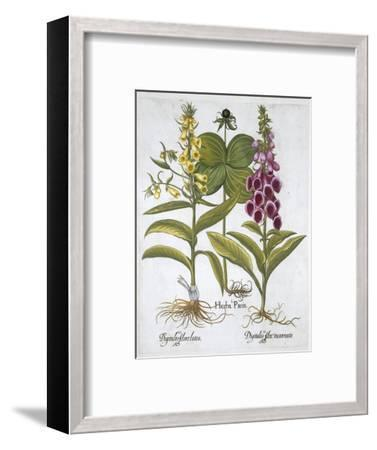 Herb Paris (Solanum quadrifolium), Common Foxglove (Digitalis Purpurea) Large Yellow Foxglove-Unknown-Framed Giclee Print