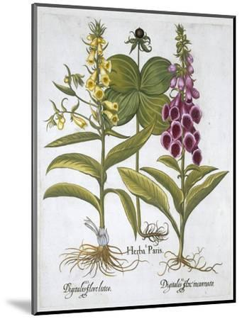 Herb Paris (Solanum quadrifolium), Common Foxglove (Digitalis Purpurea) Large Yellow Foxglove-Unknown-Mounted Giclee Print