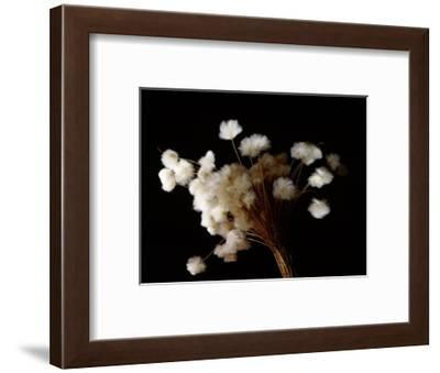 Arctic cotton, a plant common in tundra regions over much of the far north-Werner Forman-Framed Giclee Print