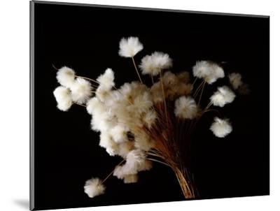 Arctic cotton, a plant common in tundra regions over much of the far north-Werner Forman-Mounted Giclee Print