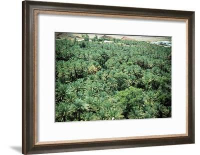 Palm trees at Hatta oasis, irrigated by an ancient system of subterranean conduits, called aflaaj-Werner Forman-Framed Giclee Print