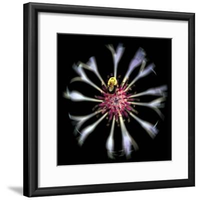 Cornflower-Mary Woodman-Framed Photographic Print
