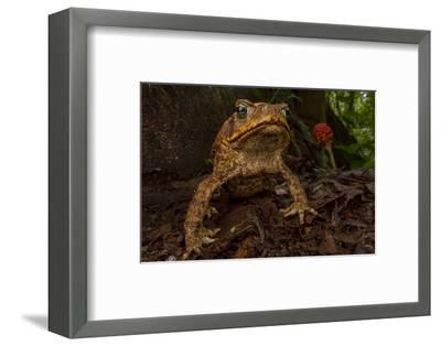 Cane toad (Rhinella marina) in native habitat. Las Cruces Biological Station, Costa Rica.-Jen Guyton-Framed Photographic Print