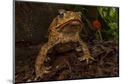Cane toad (Rhinella marina) in native habitat. Las Cruces Biological Station, Costa Rica.-Jen Guyton-Mounted Photographic Print