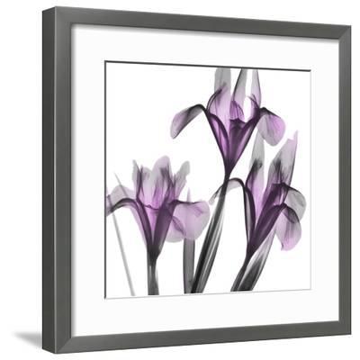 Dazzling Iris-Albert Koetsier-Framed Photographic Print