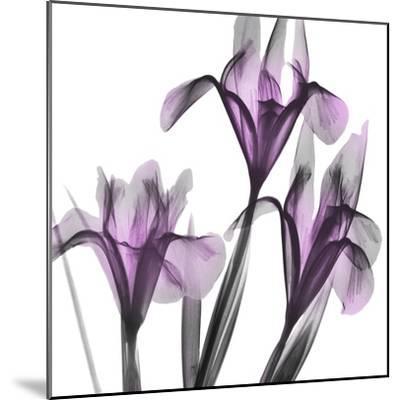 Dazzling Iris-Albert Koetsier-Mounted Photographic Print