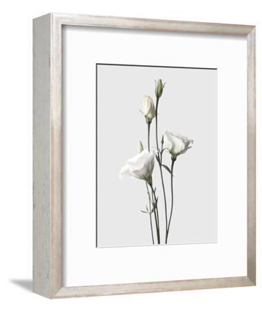 Lisianthus White-Design Fabrikken-Framed Photographic Print