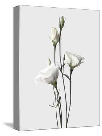 Lisianthus White-Design Fabrikken-Stretched Canvas Print