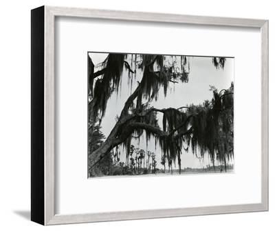 Spanish Moss, Louisiana, 197-Brett Weston-Framed Photographic Print