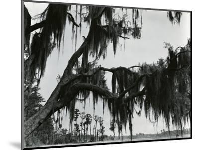 Spanish Moss, Louisiana, 197-Brett Weston-Mounted Photographic Print